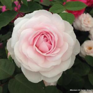 de4ec88479692e Rose  Olivia Rose Austin  David Austin English shrub rose. Bare root ...