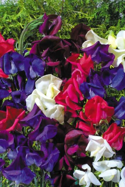 Sweet Pea - Old Spice - Starry Night - 40 seeds - Annual
