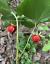 thumbnail 3 - 25 + seeds - Red trillium - purple trillium - Trillium erectum - trille rouge -