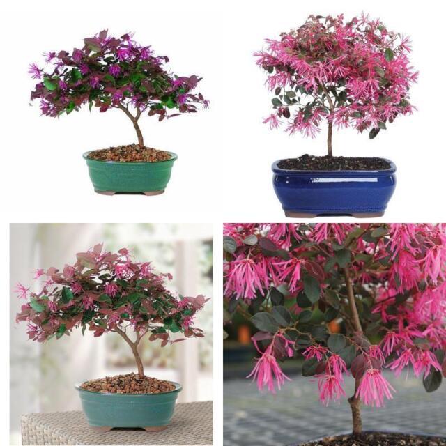 Brussels Fringe Flower Bonsai Plant Tree Garden Home Gift For Sale Online Ebay