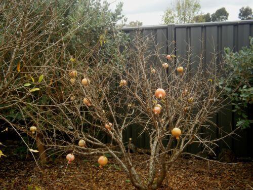 Russian Salavatski 5 seeds ! Special offer COLD HARDY Punica Granatum cult