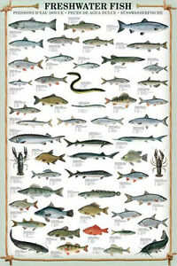 FRESHWATER-FISH-53-Species-Sportsfisherman-Fly-Fishing-Wall-Chart-Poster