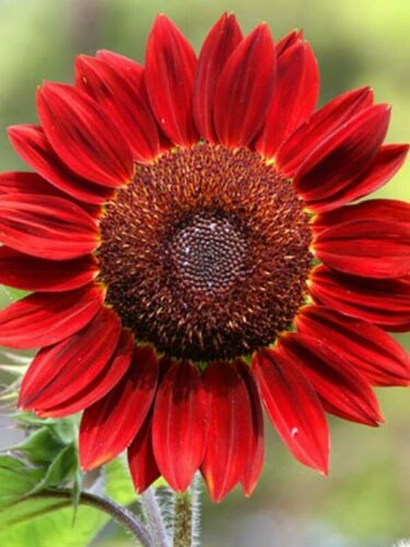 "Flower Seeds Sunflower Decorative /""Red sun/"" Helianthus annuus"