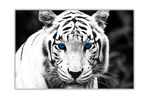 Landscape-White-Tiger-Blue-Eyes-Poster-Prints-Wall-Art-Modern-Animal-Pictures