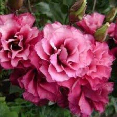 20+ LISIANTHUS MARIACHI CARMINE FLOWER SEEDS / ANNUAL /  GREAT CUT FLOWER / GIFT