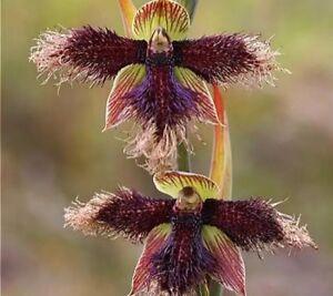 Usa Seller 50pcs Orchid Seed Flower Seeds Rare Home Garden Mixed