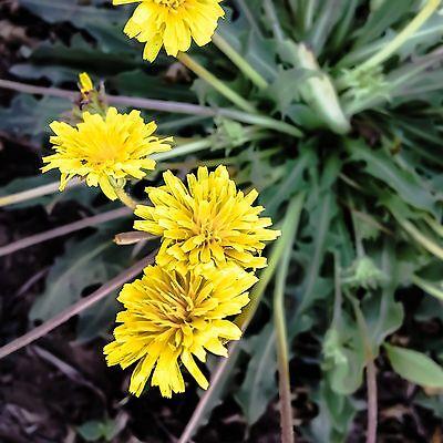 Rubber Root/Russian Dandelion Taraxacum kok-saghyz Seeds (~50): Non-GMO