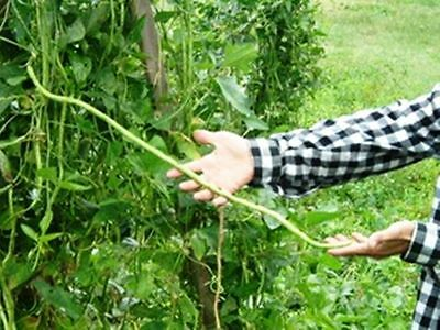 Yardlong Bean (Asparagus Bean, Snake Bean, Chinese Long Bean) 100 Seeds