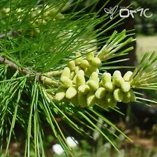 SUGAR PINE (Pinus Lambertiana) 5+EXTRA seeds (#351)