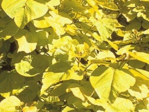 Catalpa bignonoides Nana Kugeltrompetenbaum Trompetenbaum Kugel Stamm Kugelbaum