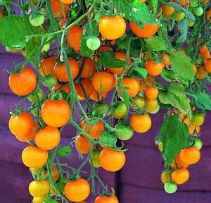 Tomate-039-Tumbling-Tom-Yellow-039-15-100-Samen