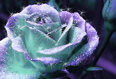 Framed Print - Sparkling Teal & Purple Rose (Picture Poster Art Flowers Daisy)