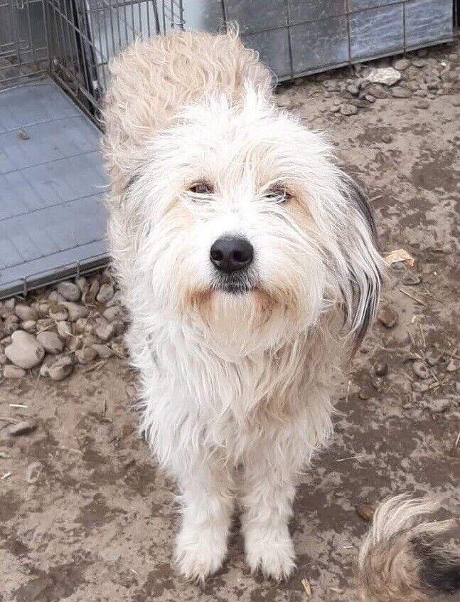 Mindre terrier mix, hund, 2 år