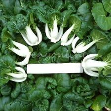 2000 Canton PAK CHOI Bok Choy Chinese Cabbage Green Vegetable Seeds Home Garden