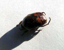Chrysochroa fulminans Green Beetle SHINY Taxidermy REAL Insect Unmounted