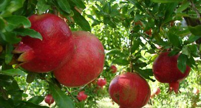 ☆Giant Pomegranate☆Sweet /& Juicy☆10-Seeds☆♡☆Hardy Variety For UK☆