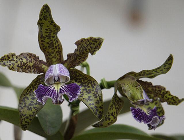 C. schilleriana coerulea  Cattleya Orchidee  Jungpflanze seedling no 92