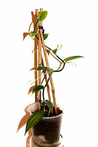 1Stk-8-99-1-echte-Vanille-Pflanze-Vanilla-planifolia-Jungpflanze-plant