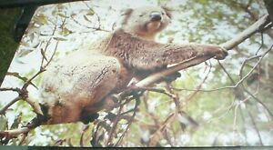 1-LARGE-POSTER-KOALA-BEAR-ON-GUM-TREE-65-X-50-CM-APPROX