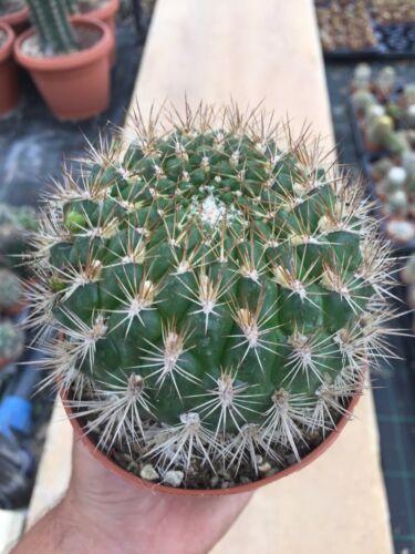 Weingarthia Lanata no ariocarpus copiapoa aztekium cactus kakteen
