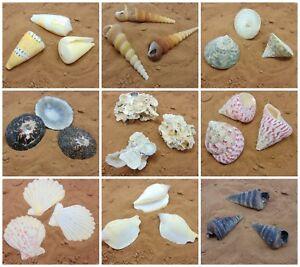 Large-Beach-Shells-Individual-Sea-Shells-Seashell-Decoration-Aquarium-UK-SELLER