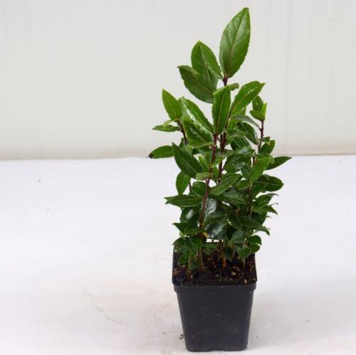 10 Piante di Alloro,Siepe di Laurus Nobilis Cespuglio in Vaso 10cm