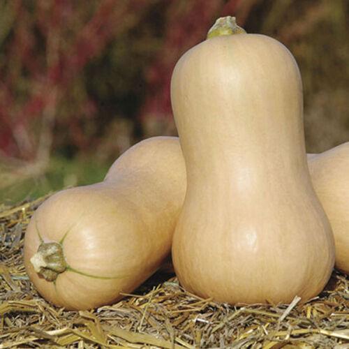 Pumpkin seeds Muscat for long-term storage Vegetable Seeds