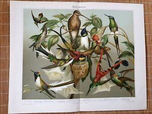 Alter-historischer-Druck-Kolibris-Chromolithographie-1895