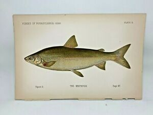 Scarce-First-Denton-Fish-Print-1889-Whitefish-Original