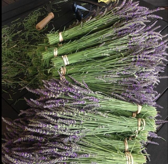 Natural Dried French Provence Fragrant Lavender Bunch Tied by Hand 75 stems.