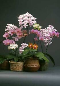 Special-offer-GIFT-Rare-Moth-phalaenopsis-orchid-Seedling-for-Orchid-beginner