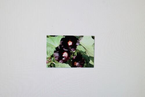 nigra Alcea rosea v # 79 5 graines noires stockrose