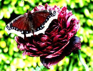 2500 graines de pavot pivoine g ante coquelicot noir fleurs sauvages ebay. Black Bedroom Furniture Sets. Home Design Ideas
