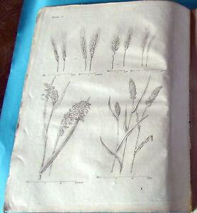 1784 Estampe Eau Forte. Escourgeon, Epautre ,millet ,panis ,barbu Rameux Convient Aux Hommes, Femmes Et Enfants