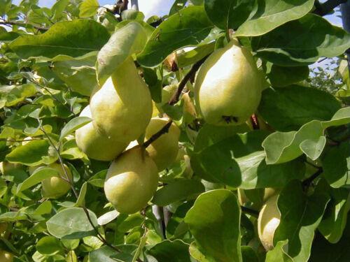 winterharte Pflanze 170cm Resistent Cydonia /'Robusta/' Frühquitte Birnenquitte