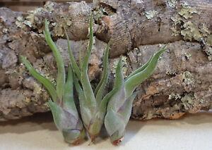 10-Pack-Mini-Tillandsia-Caput-Medusae-Wholesale-Tillandsia-Air-Plants