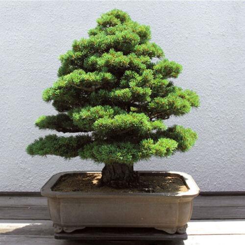 20Pcs Seltene Heilige der japanischen-Zeder Semillas Bonsai Pflanzensamen N V5T7