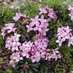 Daphne pink fragrance evergreen spring flowering shrub in a 9cm image is loading daphne 039 pink fragrance 039 evergreen spring flowering mightylinksfo