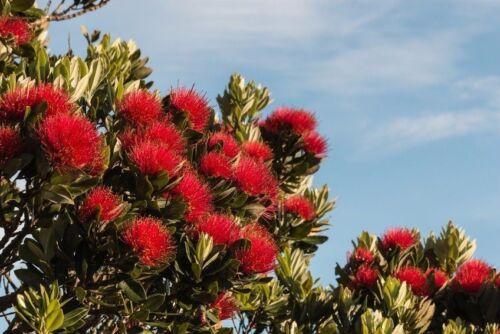 rot blühenden Büscheln. **Ein Weihnachtsbaum ganz anderer Art mit schönen
