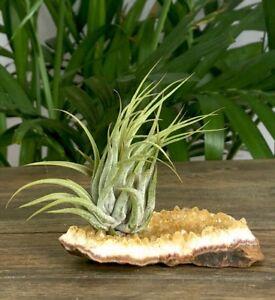 Citrine-Air-Plant-Geode-Crystal-Quartz-Tillandsia-Home-Decor-Cluster-Specimen