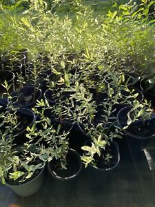 DAPPLED WILLOW   LIVE BARE ROOT PLANT  PRIORITY SHIPPING!
