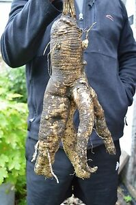 WHITE-BRYONY-PLANT-HUGE-BRANCHED-ROOT-42cms-LONG-Bryonia-alba