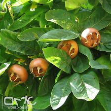 MEDLAR (Mespilus Germanica) 10+EXTRA seeds (#40)
