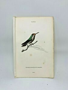 1st-Ed-Hand-colored-Jardine-039-s-Natural-History-1834-Magnifice-Hummingbird-19-20