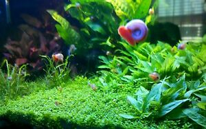 5 red ramshorn snails aquarium or pond clean up algae for Pond friendly plants