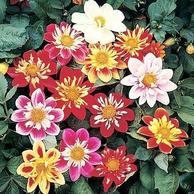 FLOWER DAHLIA DWARF DANDY 2 GRAM ~ APPROX 250 SEEDS