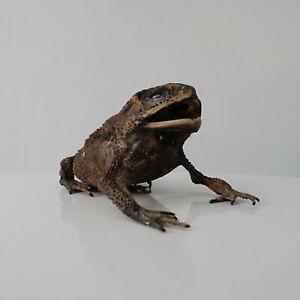 Frog-crapaud-empaille-taxidermisme-curiosite