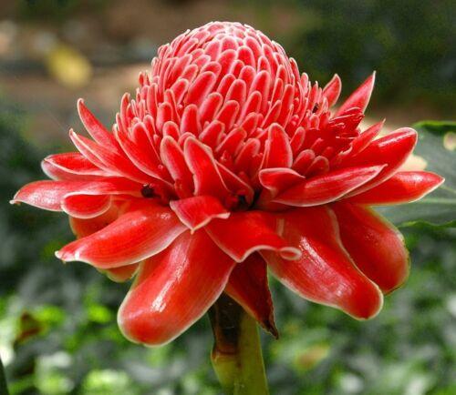 Etlingera elatior 20 Samen Fackelingwer Zierpflanze mit tollen ROTEN Blüten
