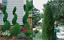 EMERALD-GREEN-Arborvitae-3-034-pot-Thuja-occidentalis thumbnail 1