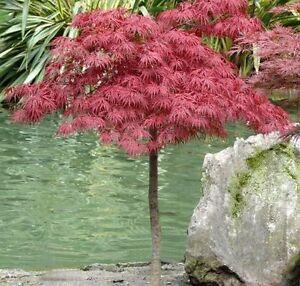 Acero rosso giapponese acer palmatum dissectum garnet for Acero giapponese in vaso